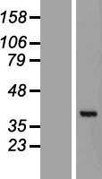 NBL1-08544 - C7orf20 Lysate