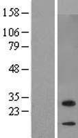 NBL1-08550 - C7orf29 Lysate