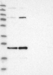 NBP1-86026 - C7orf30
