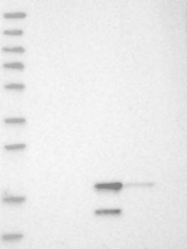 NBP1-85077 - C7orf64