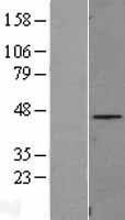 NBL1-10444 - C8orf72 Lysate