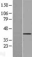 NBL1-08578 - C9orf100 Lysate