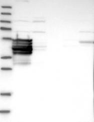 NBP1-90934 - C9orf117