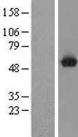 NBL1-08585 - C9orf156 Lysate