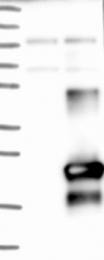 NBP1-81056 - C9orf169