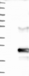 NBP1-81057 - C9orf169
