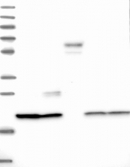 NBP1-90447 - C9orf40