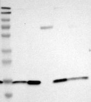 NBP1-89253 - C9orf46