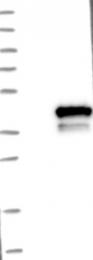 NBP1-83169 - C9orf78