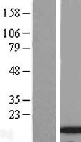 NBL1-08602 - C9orf80 Lysate