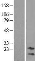 NBL1-08607 - C9orf95 Lysate