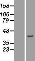 NBL1-08610 - CA10 Lysate