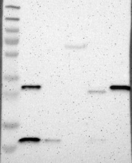 NBP1-86090 - Carbonic anhydrase 5B