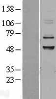 NBL1-08622 - CABC1 Lysate