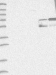 NBP1-85920 - CACNA2D4