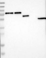 NBP1-83984 - CACNB4