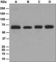NBP1-95801 - CAF-1 subunit B
