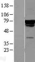 NBL1-09140 - CAF-1 p60 Lysate