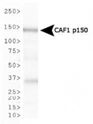 NB500-207 - CAF-1 subunit A