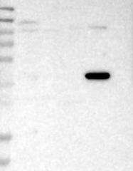 NBP1-83930 - CALHM1 / FAM26C