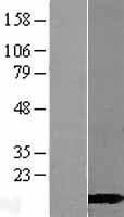 NBL1-08652 - CALML3 Lysate