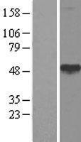 NBL1-08656 - CALR3 Lysate