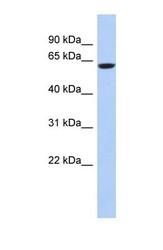 NBP1-56677 - CAMKV
