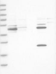 NBP1-82933 - CAMSAP1L1