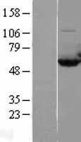 NBL1-08674 - CAP1 Lysate