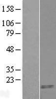 NBL1-08700 - CARTPT Lysate