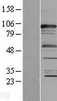 NBL1-08701 - CASC3 Lysate