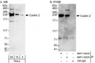 NBP1-52629 - Caskin-2