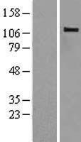 NBL1-08737 - CBLB Lysate