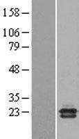 NBL1-13507 - CBP20 Lysate