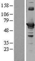 NBL1-08744 - CBS Lysate