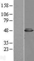 NBL1-08745 - CBWD1 Lysate