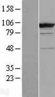 NBL1-08755 - CC2D1B Lysate