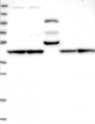 NBP1-83544 - CCBE1