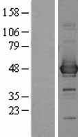 NBL1-08758 - CCBL1 Lysate