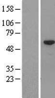 NBL1-08765 - CCDC11 Lysate