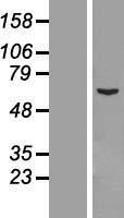NBL1-08768 - CCDC112 Lysate
