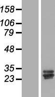 NBL1-08779 - CCDC134 Lysate