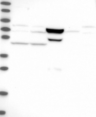 NBP1-85831 - CCDC157