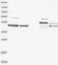 NBP1-88164 - ZNF830 / CCDC16