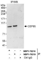 NBP1-78218 - CCDC21