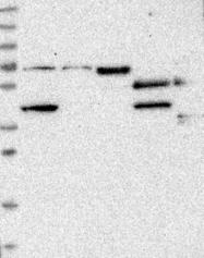NBP1-83460 - CCDC38