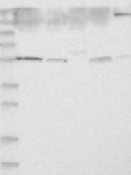 NBP1-88163 - BEND4 / CCDC4