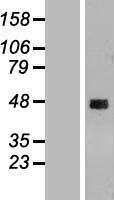 NBL1-08802 - CCDC51 Lysate