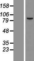 NBL1-08805 - CCDC54 Lysate