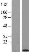 NBL1-08806 - CCDC56 Lysate
